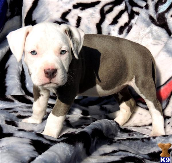 Armoured Vehicles Latin America ⁓ These Blue Nose Pitbull Puppies