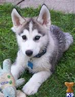 siberian husky puppy posted by giriprosperntanchin