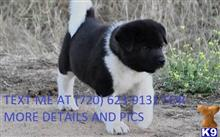 akita puppy posted by gironawale
