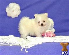 pomeranian puppy posted by gisellebright