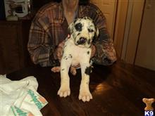 great dane puppy posted by grannydi624