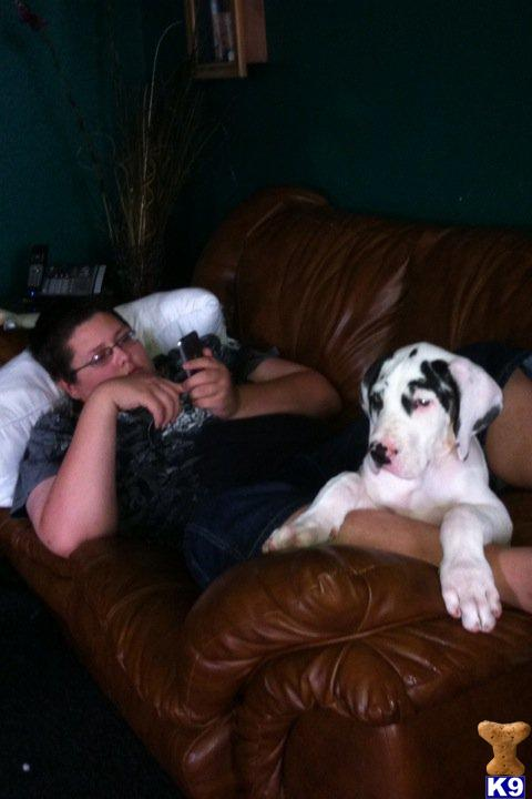 Great Dane Puppies For Sale In Michigan. Puppies for Sale