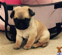pug puppy posted by greyhanderson