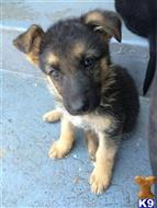 german shepherd puppy posted by gsd9114