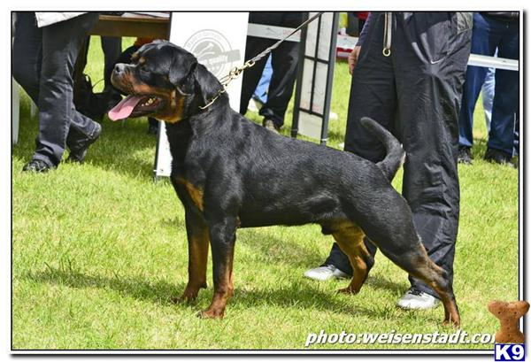 Rottweiler Puppy For Sale Russian Superstar Faryco Terezsky Dvur 6