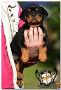 rottweiler puppy posted by guardianrottweilers