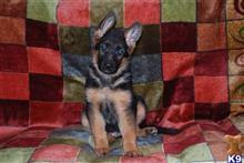 german shepherd puppy posted by gutermanneshirt