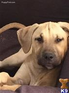 blackmouth cur puppy posted by hamakuapride