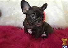 french bulldog puppy posted by hanryosman