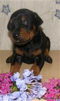 doberman pinscher puppy posted by happydobermans