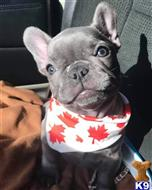 french bulldog puppy posted by hardyphilips80
