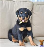 rottweiler puppy posted by hardyphilips80