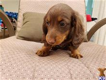 dachshund puppy posted by havardt