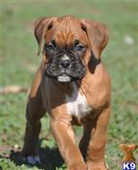 boxer puppy posted by haygoodpaints