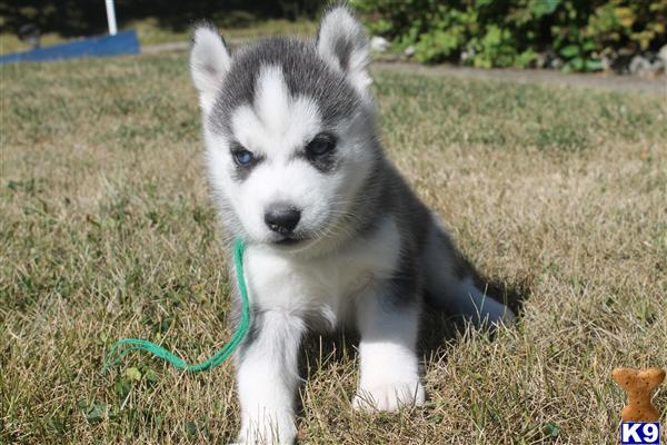 Teacup Husky Full grown Related Keywords Suggestions