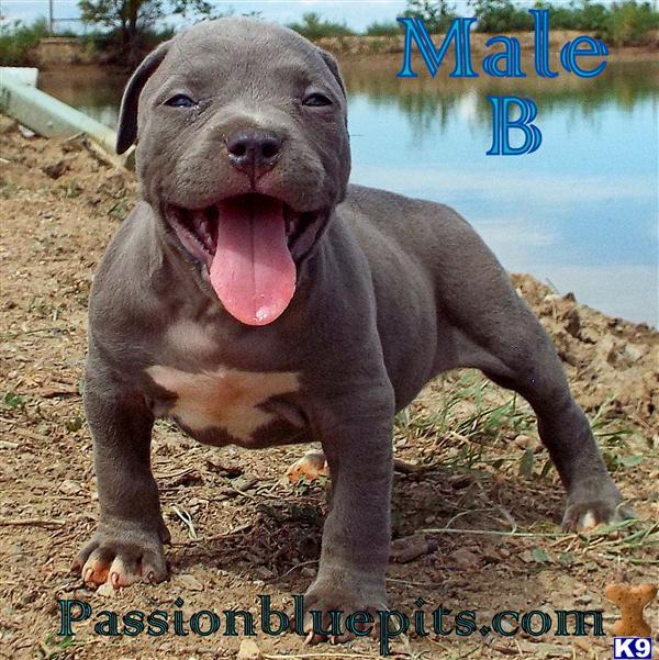 Pit Bull puppies XL UKC ADBA WWW.PASSIONBLUEPITS.COM