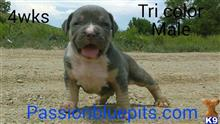 american pit bull puppy posted by heff1983