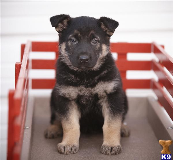 German Shepherd Puppies in PA