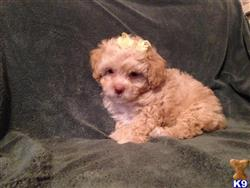 maltipoo puppy posted by hernandezrom