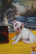 bulldog puppy posted by highdesertbulldogs