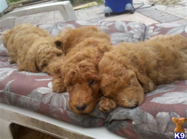 Poodle Puppies in FL