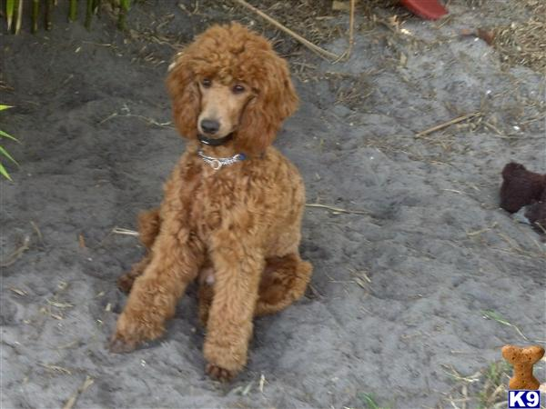 CASH AKC Moyen Poodle - Poodle Stud Dogs