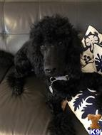 poodle puppy posted by highlandpoodles1