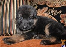 german shepherd puppy posted by histick1
