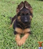 german shepherd puppy posted by hitechdog
