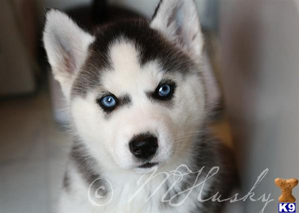 siberian husky puppy posted by hmartin