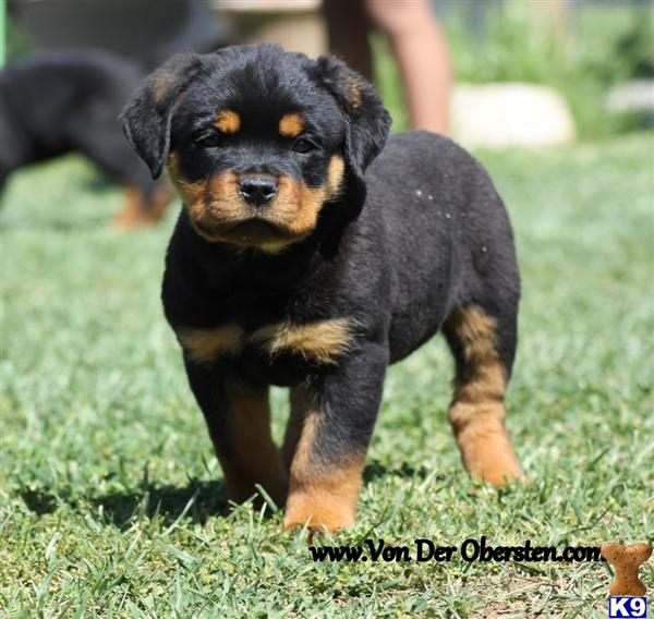 MORENO VALLEY, CA USA RottweilerPuppies for Sale