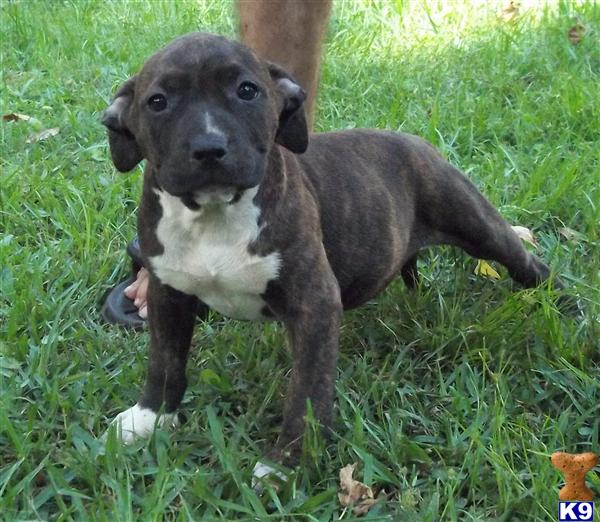 American Pit Bull Puppies in FL