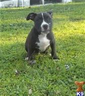 american pit bull puppy posted by hondashells