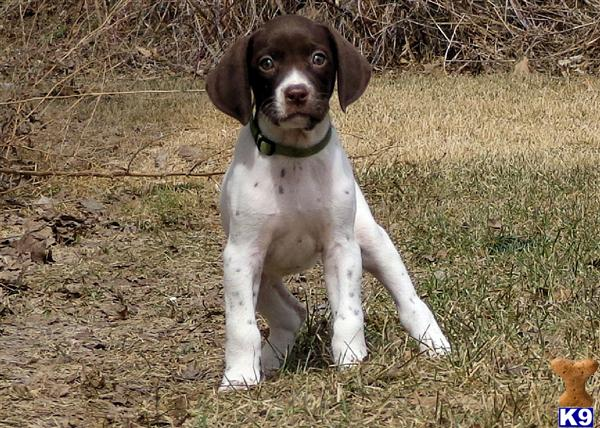 german shorthaired pointer puppy posted by horsnround