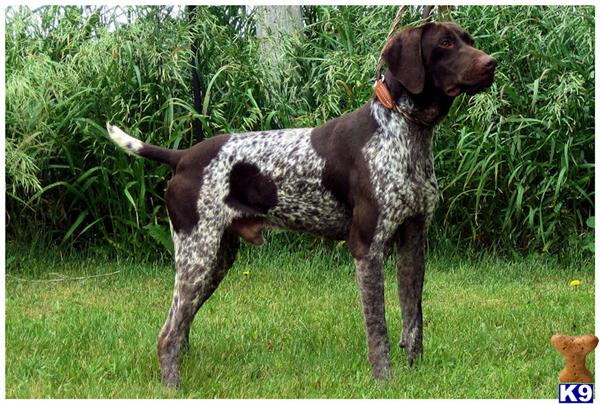 German Shorthaired Pointer Puppy for Sale: Big laid back ...