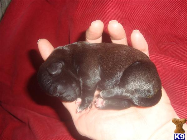 Mixed Breed Dogs For Sale Michigan