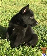 german shepherd puppy posted by howshar78