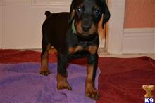 doberman pinscher puppy posted by hurricanesfan001