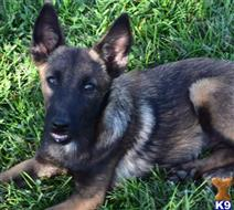belgian malinois puppy posted by husky12