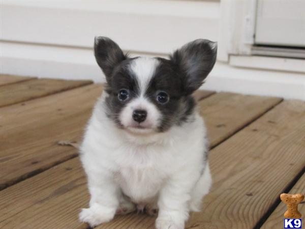 Locate Chihuahua Puppies for Sale in North Carolina