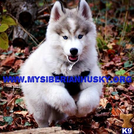AKC Wooly Coat Husky Puppies..LIFETIME HEALTH GUARANTEE