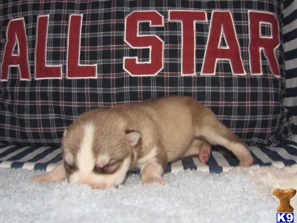 AKC/Ckc SIBERIAN HUSKY PUPPY..Red/White Woolly