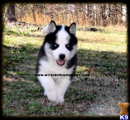 Gorgeous AKC Silver/white Woolly Coat Husky Puppies..LIFETIME GUARANTEE