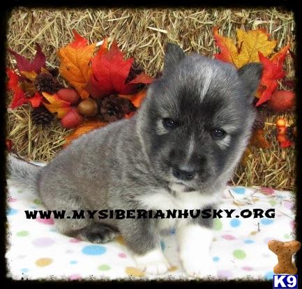 Siberian Husky Puppy For Sale Adorable Agouti Wooly Coat Lifetime