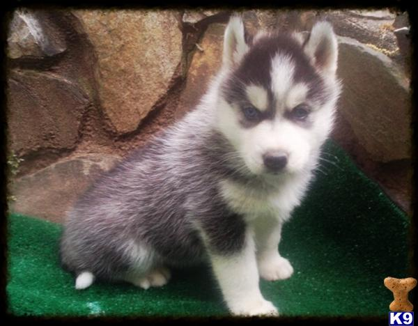 BEAUTIFUL PUPS BLUE EYES 2 MONTHS FREE HEALTH PET INSURANCE AND ...
