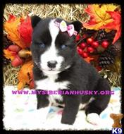 siberian husky puppy posted by huskypups10