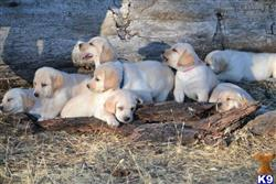 labrador retriever puppy posted by huston441