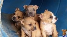 american pit bull puppy posted by hypnoticbluez