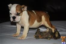 english bulldog puppy posted by icebullies
