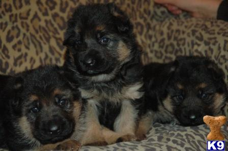 German Shepherd Puppy for Sale: Beatifull black and red